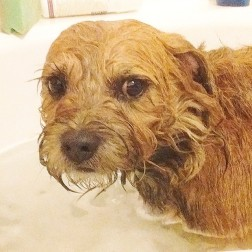 border-terrier-in-bath