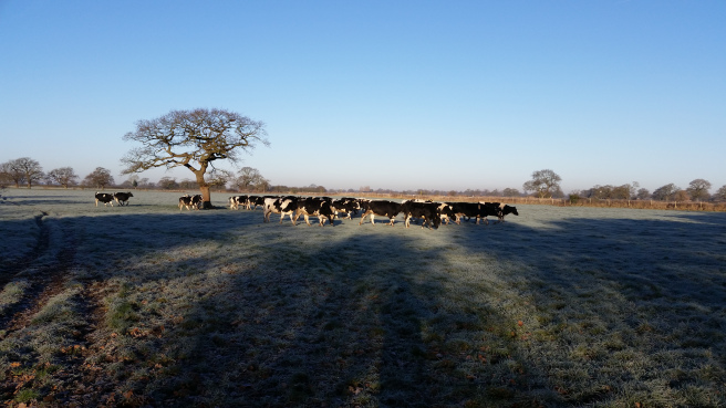 Frosty cows